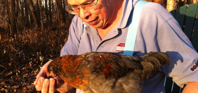 Chickens 0408